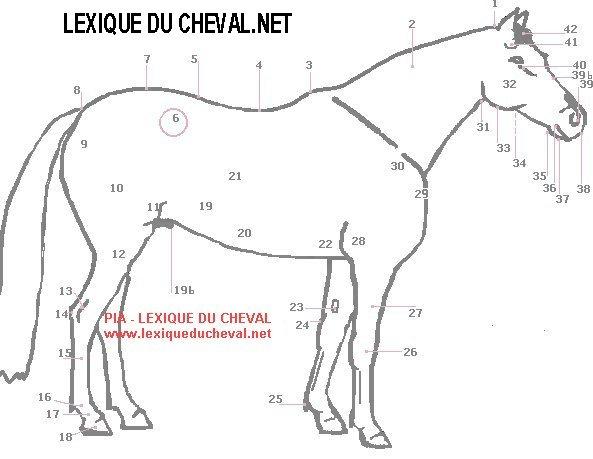 lexique du cheval    lexique anatomie  sch u00e9ma muet